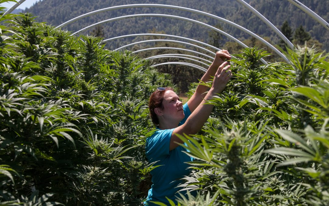 Sunnabis Farms Web Development Project